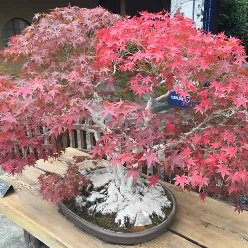 Bonsai Art Museum 大宮盆栽美術館and Omiya Hikawa Shrine大宮氷川神社