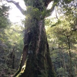 "Yakushima 屋久島 Ancient forest, inspiration for Ghibri`s ""Mononokehime"""
